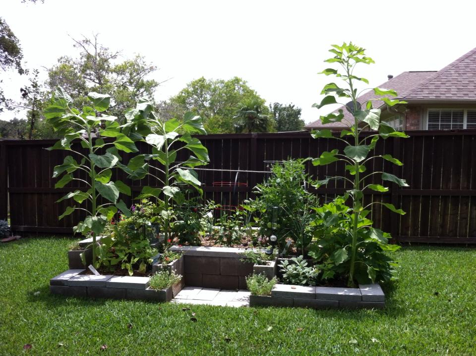 Mia's Garden: Another Jack-and-the-beanstalk-type plant!