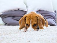 What To Do If Your Pet Has A Head Tilt and Dog Vestibular Disease