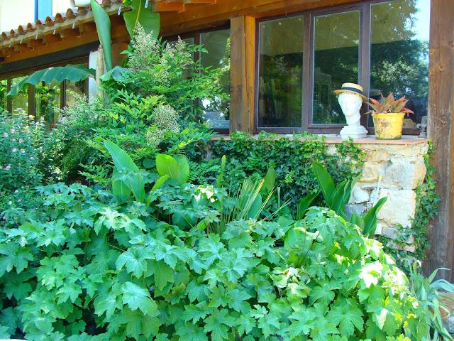 Au premier plan, anémones du Japon. Derrière, une Nandine en fleur