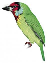 Malabar Barbet