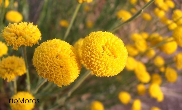 capítulos de Botonera o abrótano Santolina rosmarinifolia