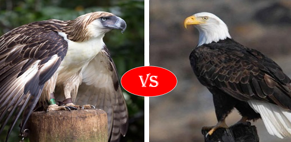 Philippine Eagle vs Bald Eagle Fight