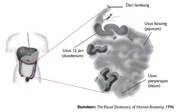 Struktur usus halus yang terdiri dari duodenum, jejunum, dan ileum