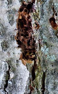 Pyrale de l'écorce du tilleul (Chrysoclista linneella)