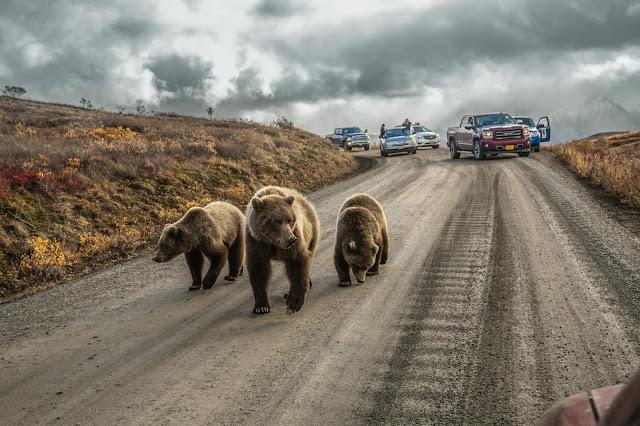 Ведмеді на дорозі. BEST PHOTOGRAPHS OF 2016