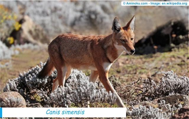 Fakta unik tentang serigala ethiopia