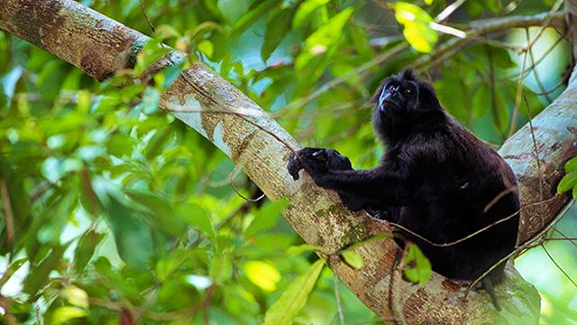 Berbicara tentang mentawai memang tidak akan lengkap tanpa membicarakan 4 jenis primata endemik yang mendiami pulau-pulau di dalam gugusan kepulauan mentawai itu sendiri. Sudah menjadi pengetahuan umum bahwa 4 primata endemik tersebut adalah ikon keanekaragaman hayati mentawai yang tak dapat dijumpai di belahan bumi lainnya.  Jenis-jenis primata tersebut adalah Joja (Presbytis potenziani), Bilou (Hylobates klosii), Bokkoi (Macaca pagensis) dan Simakobu (Simias concolor). Nama terakhir adalah jenis yang mendapat perhatian paling serius dari berbagai kalangan peneliti. Hingga saat ini berbagai macam judul penelitian tentang Simakobu telah digagas dan dilaksanakan dalam rangka untuk mengetahui berbagai aspek peri kehidupan dari spesies monyet yang juga dikenal dengan nama pig tail monkey.  Mengapa harus Simakobu? Alasannya jelas bukan karena satwa ini memiliki morfologi dan warna yang mempesona seperti halnya Joja atau karena suaranya yang mengagumkan seperti Bilou, akan tetapi oleh karena keunikan kedudukan monyet berhidung pesek ini pada susunan taksonomi dunia primata dan karena status populasinya yang paling mengkhawatirkan. Simakobu adalah spesies monoleptik yang artinya hanya ada satu jenis primata saja yang ada pada tingkat genus (jenis tunggal) yang dengan kata lain simakobu tidak memiliki 'saudara' dalam marganya. Hal tersebut tentu saja membuat jenis ini menjadi sangat berharga dalam hirarki dunia primata. Russel A. Mittermeier, Presiden Conservation International (CI) juga menambahkan bahwa Simakobu merupakan satu-satunya monyet pemakan daun yang mempunyai ekor melingkar pendek dan mempunyai hidung tumpul seperti halnya monyet emas atau monyet berhidung pesek (Rhinopithecus) yang dijumpai di Cina dan Vietnam.  Nama genus Simias yang disandang oleh Simakobu oleh Groves dalam Wilson dan Reeder (1993) dikatakan bahwa kemungkinan nama tersebut identik dengan nama Nasalis yang dimiliki oleh bekantan (Nasalis larvatus) yang ada di Pulau Kalimantan. Akan tetapi apa