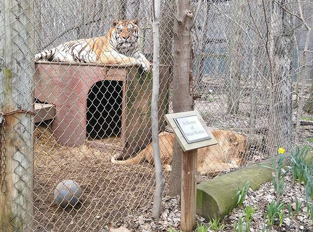 Tigers Big Cats in Indiana: Exotic Feline Rescue Center