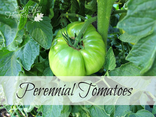 Perennial tomatoes