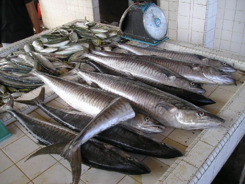 Gambar Ikan Laut Tenggiri
