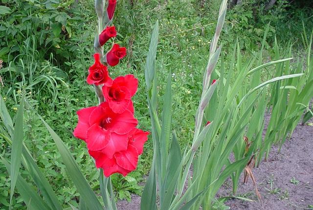 Red gladiola