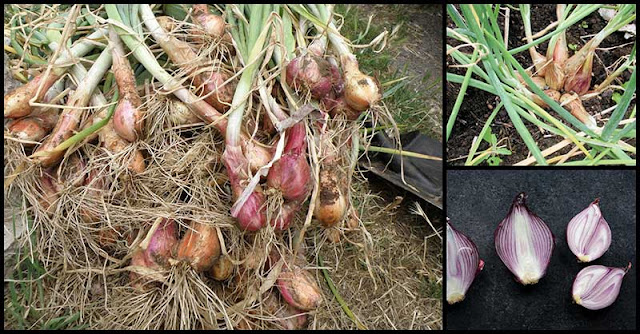 Shallots' Ability To Help Maintain Healthy Heart, Manage Diabetes, And Fight Premature Aging