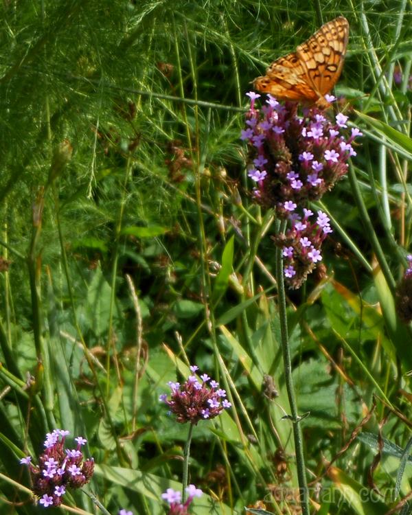 Orange Butterfly Photo by Aquariann
