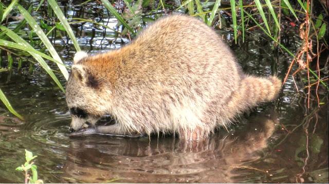 Raccoons Feeding in Swamp