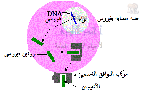 المناعة المكتسبة - المناعة الخلوية - عرض المصابة للأنتيجين