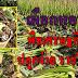 เผือกหอม พืชเศรษฐกิจ ปลูกง่าย รายได้ดี