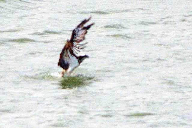 osprey, bird, leaving fresh water, wings raised