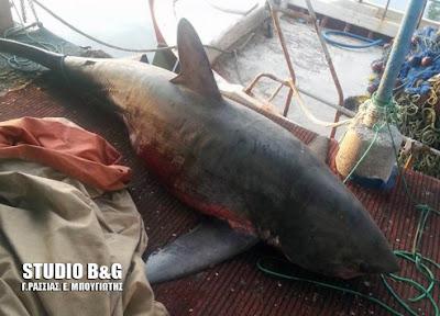 Αναστάτωση στη Νέα Κίο από καρχαρία 4 μέτρων!