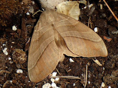 Lebeda nobilis female
