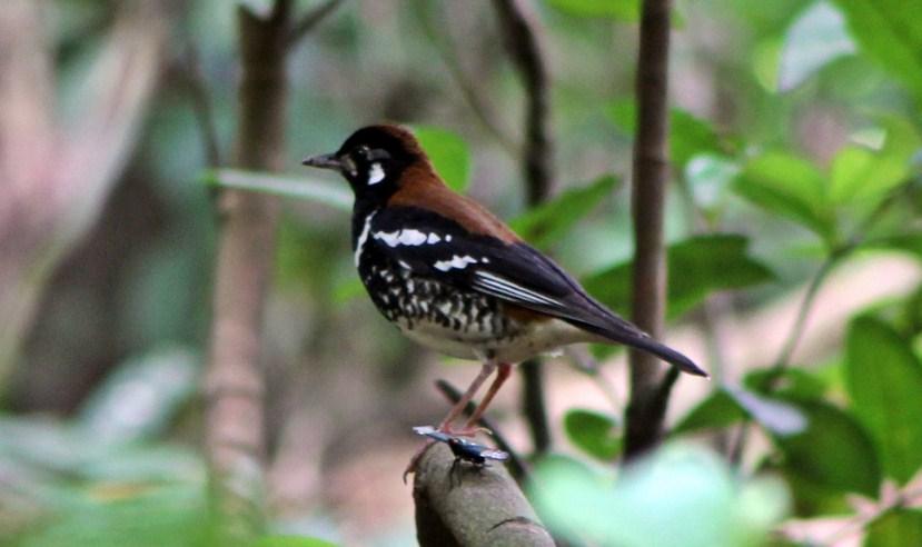 Suara Anis Kembang di Hutan Suara Anis Kembang di Alam Liar