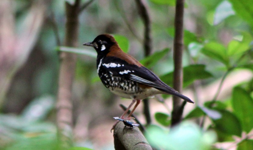 Ciri Ciri Umum Burung Anis Kembang Jantan