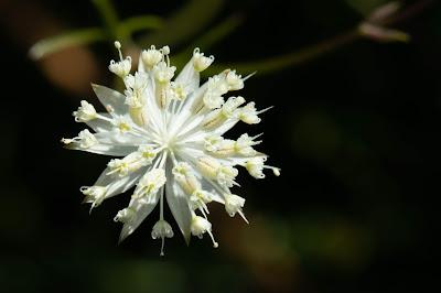 [Apiaceae] Astrantia minor – Minor Masterwort (Astranzia minore)