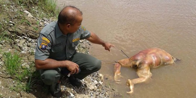 Orangutan mati dibantai tembakan 17 peluru dan tebasan senjata tajam