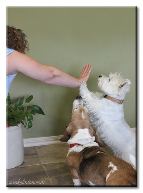 Westie giving a high five while basset watches