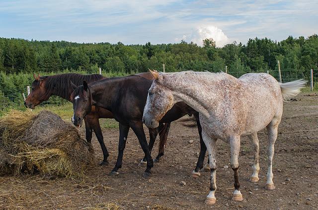 Trois chevaux dans l'enclos