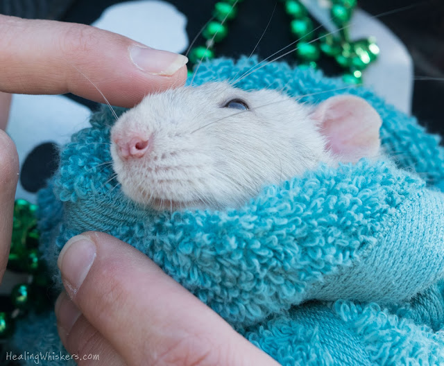 Oliver the Therapy Rat being pet and cuddled at the parade