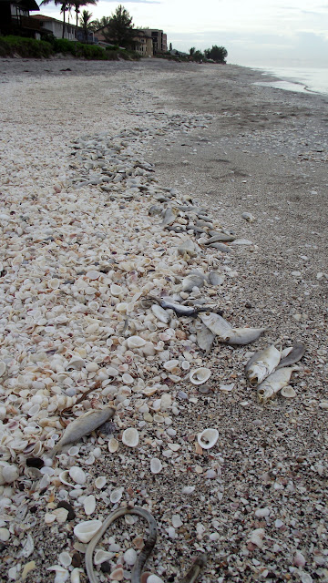 The Essential Beachcomber: Update on Red Tide Algae Bloom