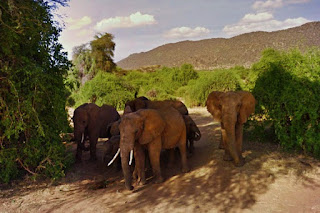 Cinnamon, Celery and cousins from the Spices family of elephants on Google street view maps of Kenya Samburu National Park