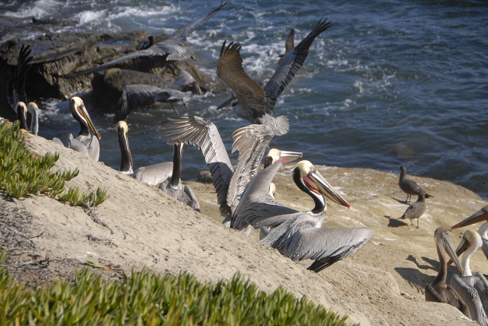 pelican's wing span
