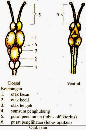 Sistem Saraf Pada Hewan Vertebrata dan Avertebrata