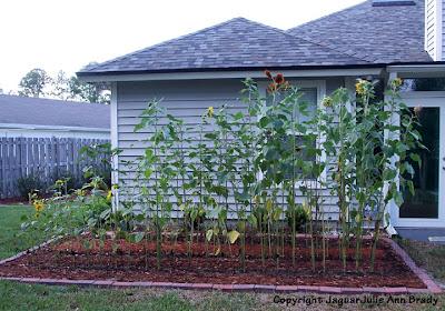 Sunflower Plants Growing in my Garden June 2, 2013