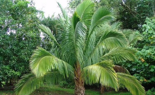 PALMERA DE MANARANO Beccariophoenix madagascariensis