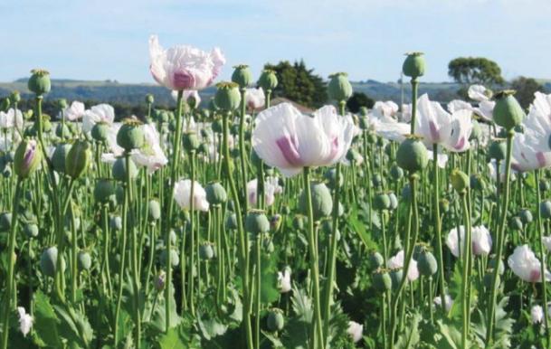 अफीम की खेती के बारे में विशेष जानकारी