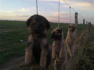 La fotografía de los perros corresponde otrocaso, está solo para ejemplificar y contar que no solo se utilizan zorros.