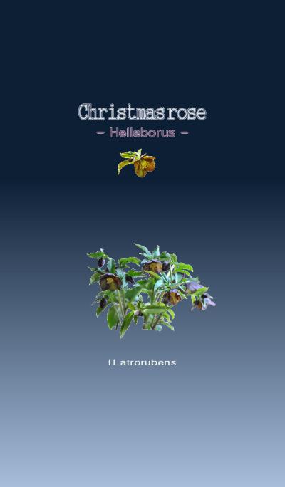 Christmas rose [Helleborus] H.atrorubens