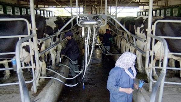 Crisis lechera: cierra un tambo por día en la Argentina