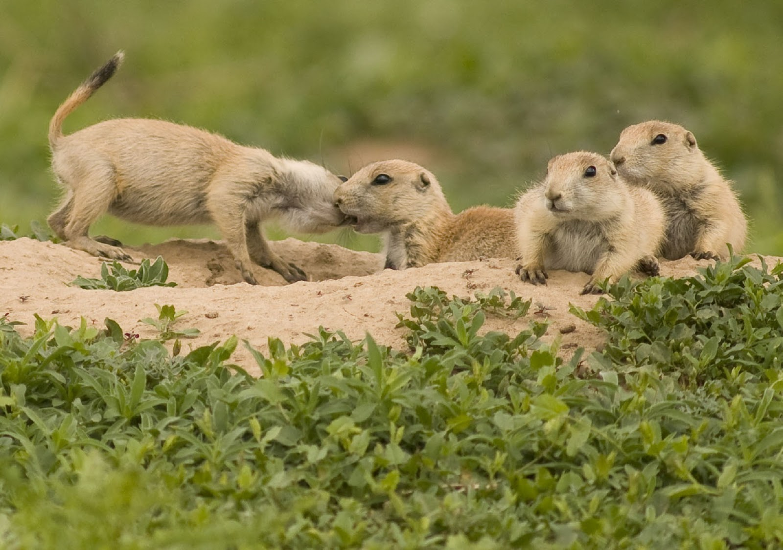 A group of prairie dogs.