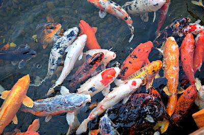 Ingin Buka Budidaya Ikan Koi Harus Tahu Harga Ikan Koi Terbaru