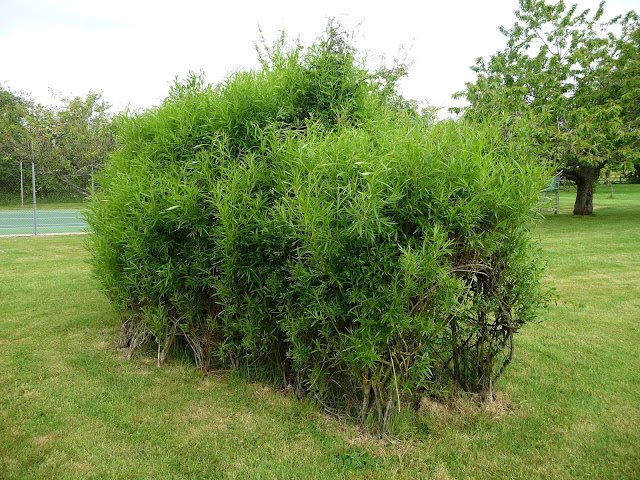 Picture of living willow igloo in summer
