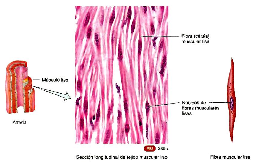 Tejido muscular esquelético, cardíaco y liso