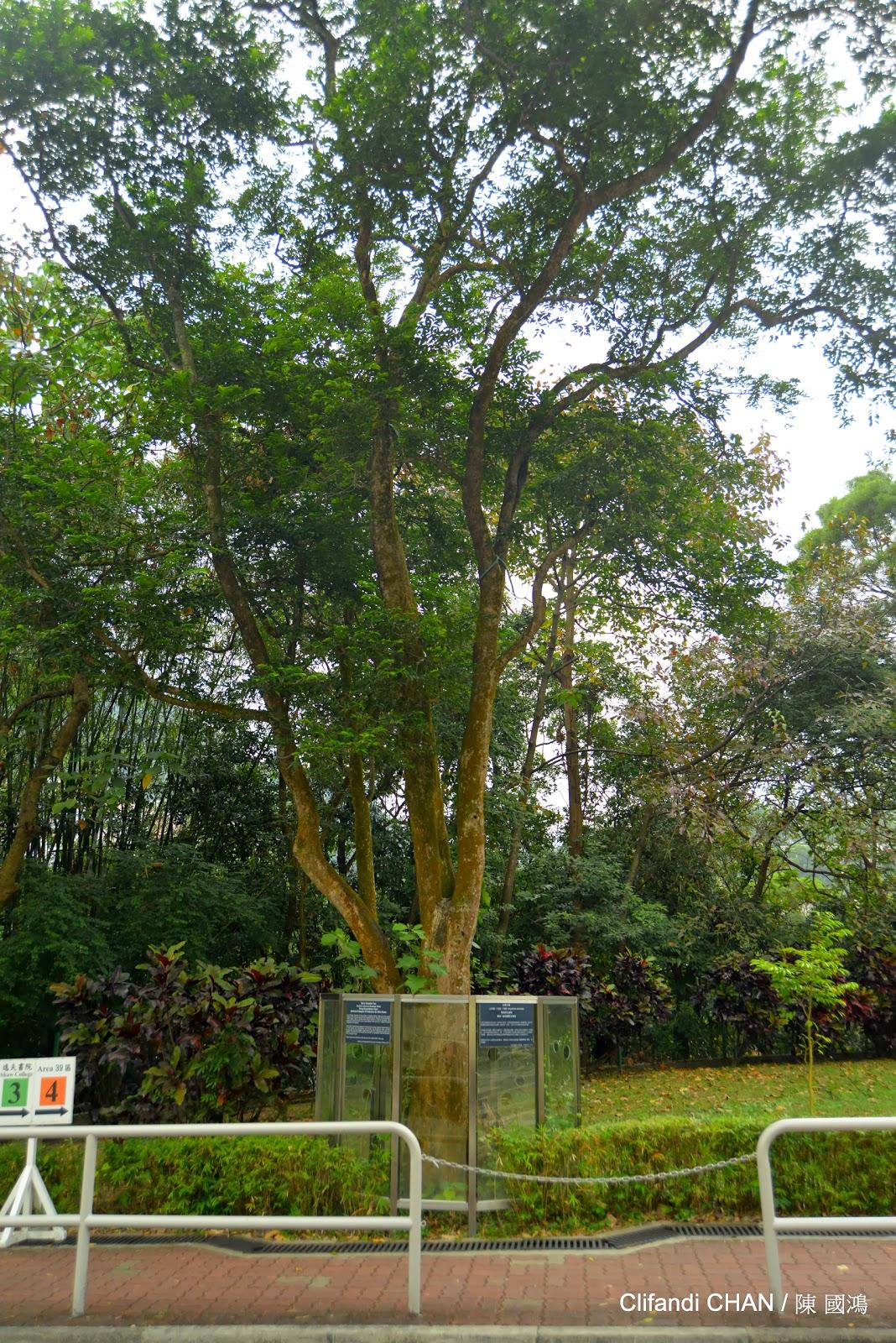 Botanical Photo.: 沉香 / Aquilaraia sinensis
