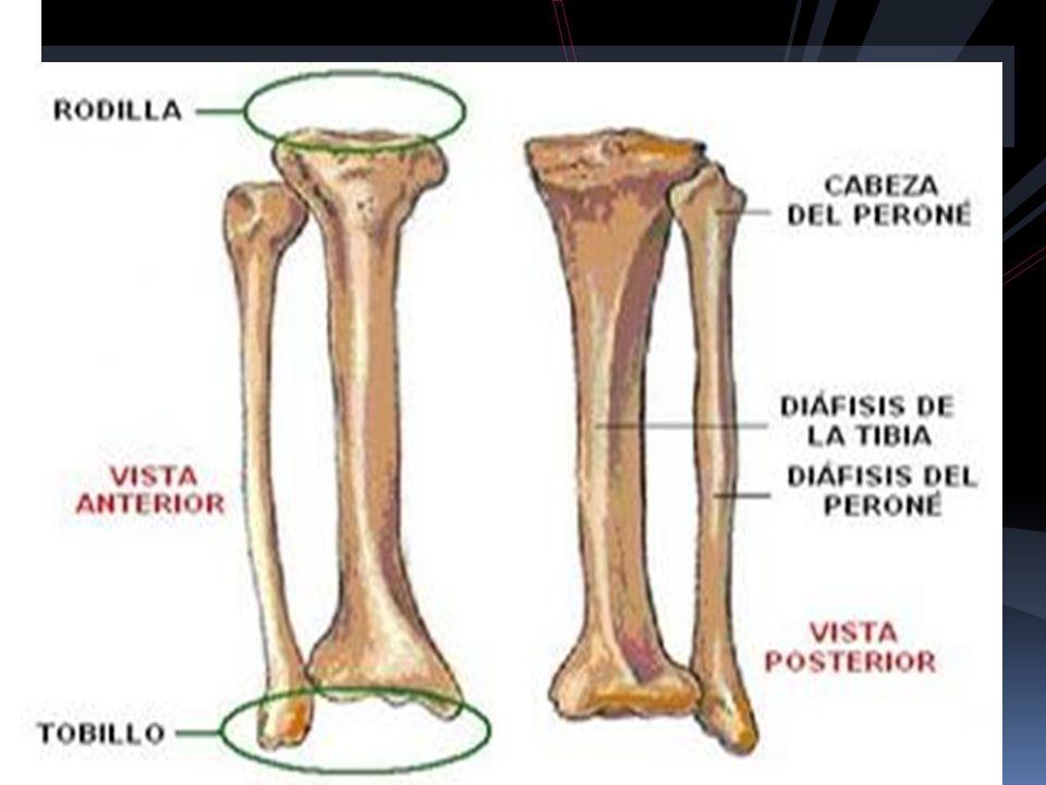 Increíble Perro Huesos De La Pierna Anatomía Cresta - Anatomía de ...