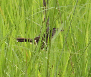 Indian Grassbird