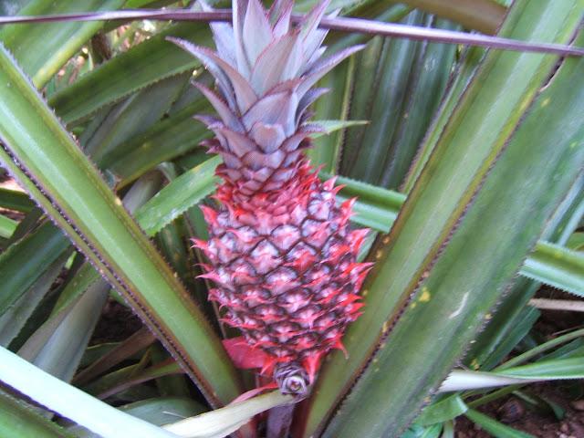 Маленький красный ананас