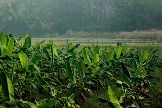 Kerala Banana Plantation