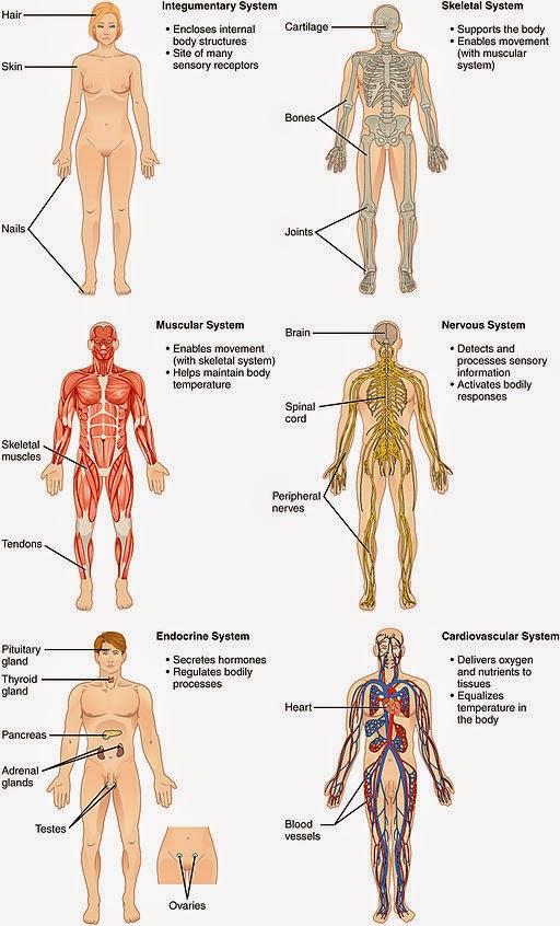Cuerpo humano y sus aparatos y sistemas